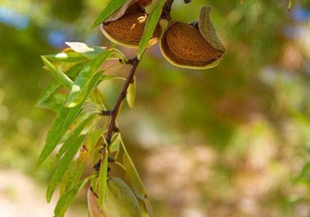 cultura amendoa