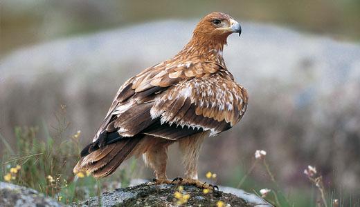 águia imperial ibérica