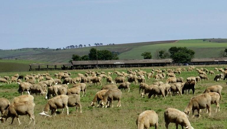 ovinos campo