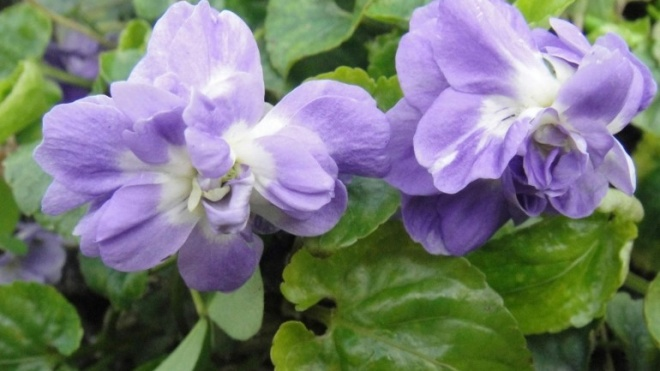 IPB com exposição sobre violetas-de-parma