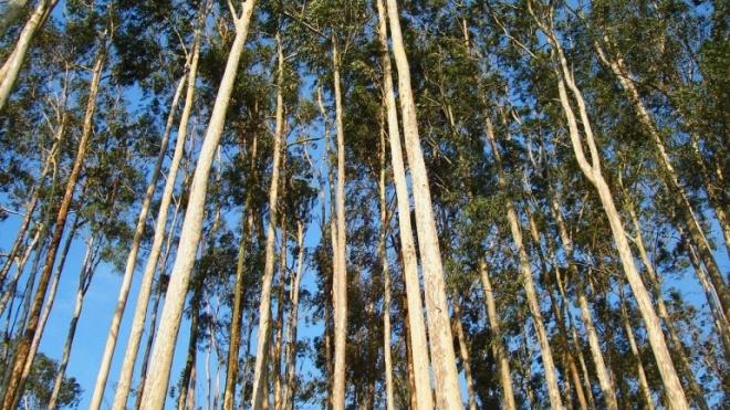 GNR diz que Mértola abateu ilegalmente eucaliptos