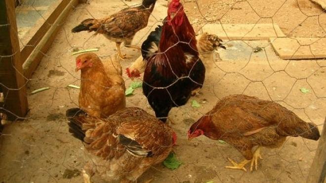 Um caso de gripe aviária detectado numa capoeira doméstica em Mértola