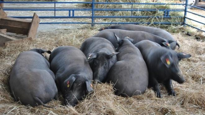 XXI Feira do Porco Alentejano em Ourique com data marcada