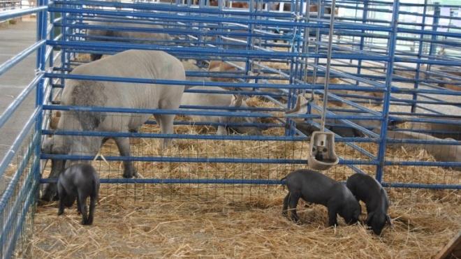 Família de Tito Semedo é uma das grandes criadoras da Vaca Garvonesa
