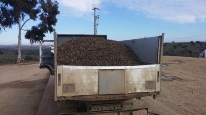 50 Detidos por roubo de azeitona
