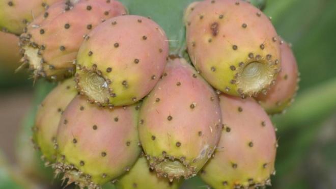 PCP quer concretização da fileira figo-da-índia