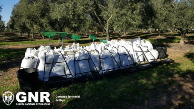 17 detidos e 3 toneladas de azeitona apreendidas em Ferreira do Alentejo