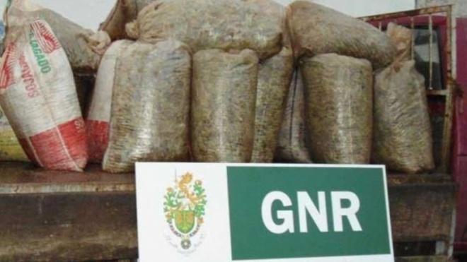 GNR prende ladrões de azeitona