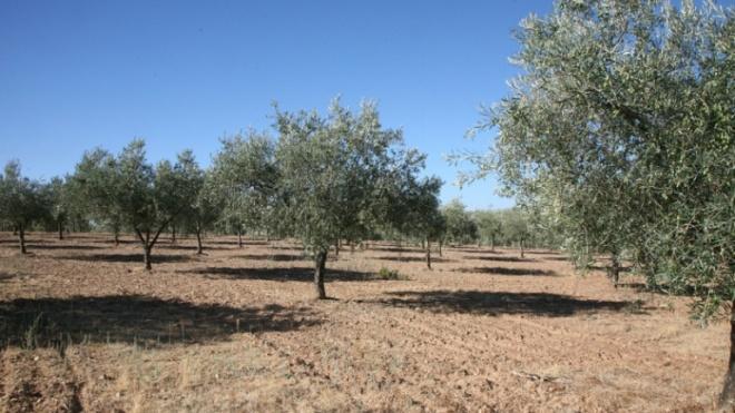 EDIA disponibiliza para arrendamento parcelas rústicas de olival