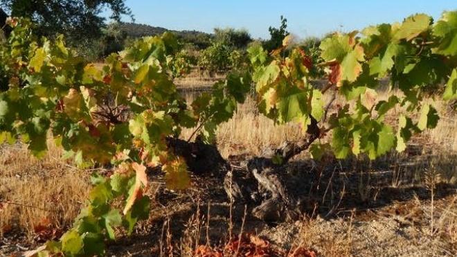 Agricultura: Ministério avança dotação de 50 mil euros para recuperação de vinhas