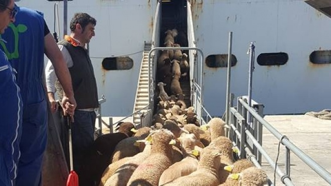Seguiu para Israel uma nova exportação de gado do Baixo Alentejo