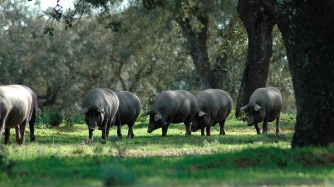 Conferência sobre porco alentejano na Biblioteca de Beja