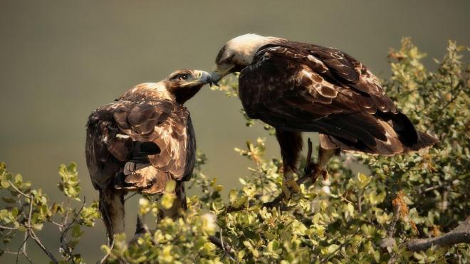 """Águia-imperial-ibérica """"nidifica"""" em Serpa"""
