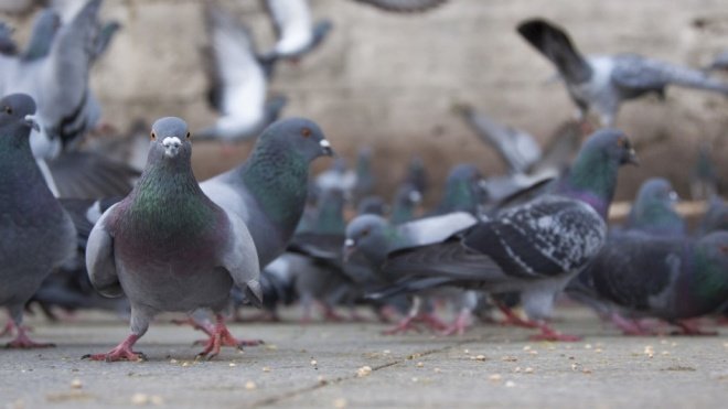 Moura avança com medidas para controlo da população de pombos