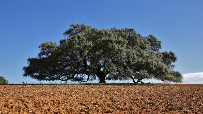 Azinheira de Mértola em 3.º lugar no Concurso Árvore Europeia do Ano