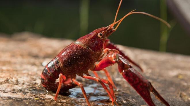 PCP quer que o Governo tome medidas para controlar praga de lagostins nas águas do interior