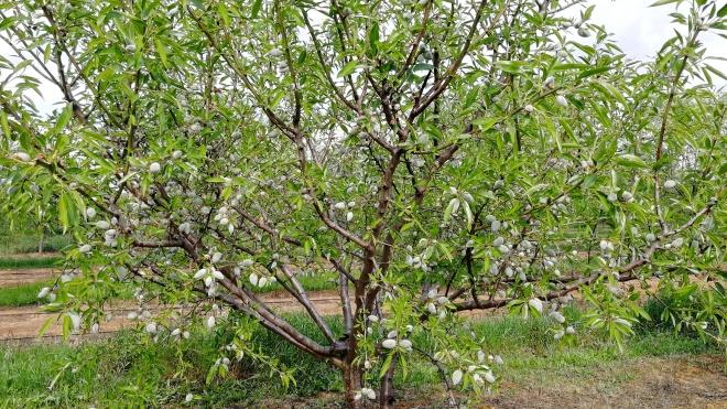 CEBAL inicia projeto para promover o amendoal no Alentejo