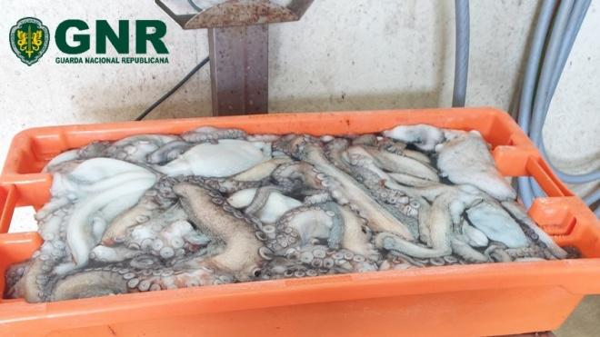 GNR: Apreensão de pescado por fuga à lota em Odemira