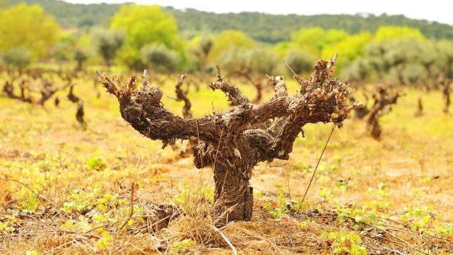 Cuba e Adega Cooperativa de Vidigueira, Cuba e Alvito consolidam parceria de valorização das vinhas centenárias