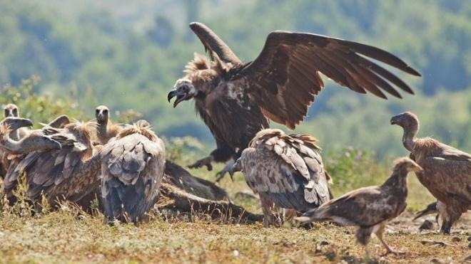 PCP preocupado com aves necrófagas em zonas urbanas