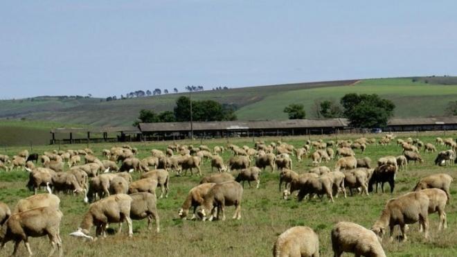 Exportação de ovinos e caprinos para Arábia Saudita