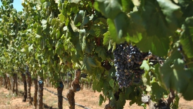 CVRA: Alentejo com previsão de subida na produção de vinho