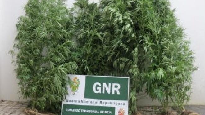 GNR apreende cannabis em Colos