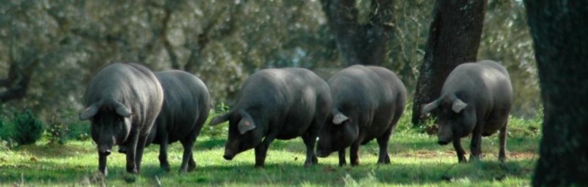 Exposição de porcos alentejanos na Feira de Ourique