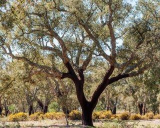 Cientistas portugueses descodificam genoma do sobreiro