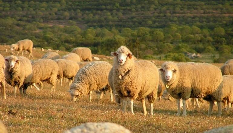 Ovelhas Campaniças