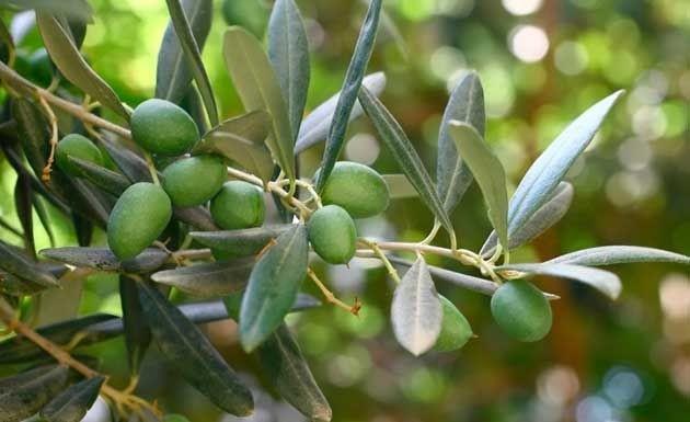 folha oliveira