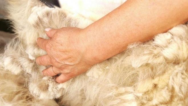 A lã merina portuguesa