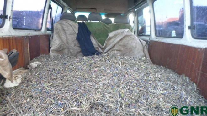 5 detidos e 500 quilos de azeitona furtada apreendidos