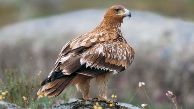 Águia-imperial-ibérica é libertada hoje no Parque Natural do Vale do Guadiana