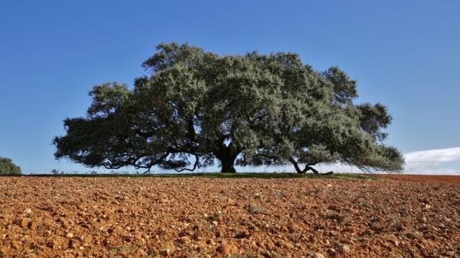 Azinheira do Monte do Barbeiro é a Árvore do Ano 2019