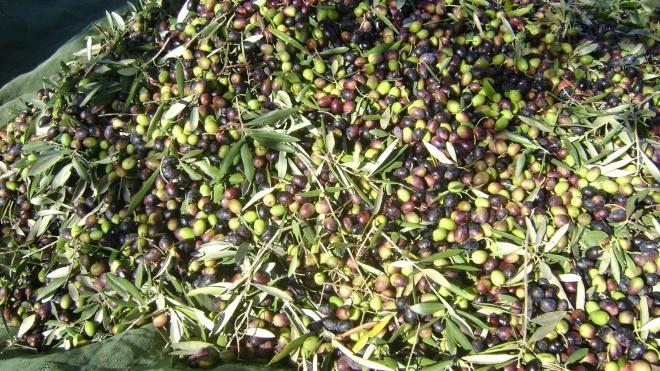 Olivum preocupada com roubos de azeitona no Alentejo