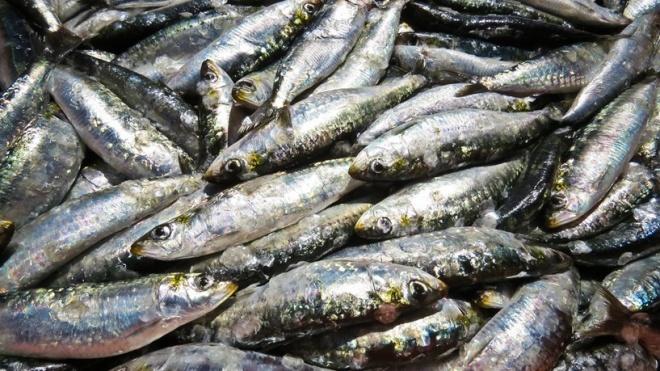 """PCP: aumento da quota da pesca da sardinha é medida """"eleitoralista"""""""