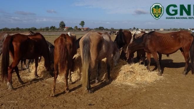 GNR: Apreendidos 104 cavalos em Aljustrel e Ferreira do Alentejo