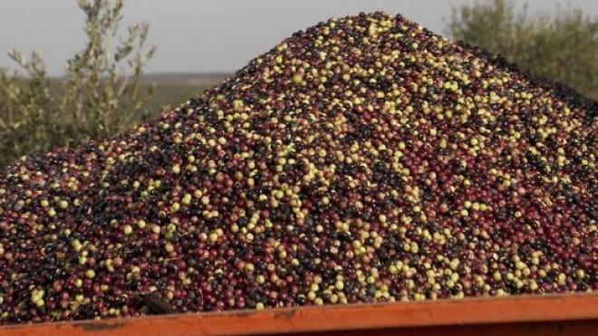 PEV quer proibição da colheita nocturna de azeitona