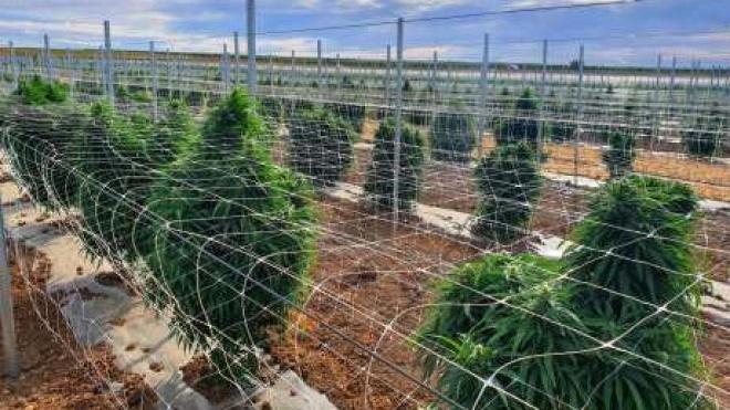 Aljustrel: com maior plantação de canábis para fins medicinais da Europa
