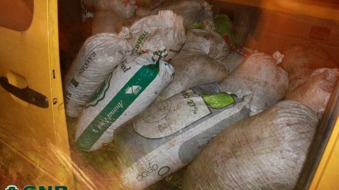 GNR recupera cerca de uma tonelada de azeitona furtada