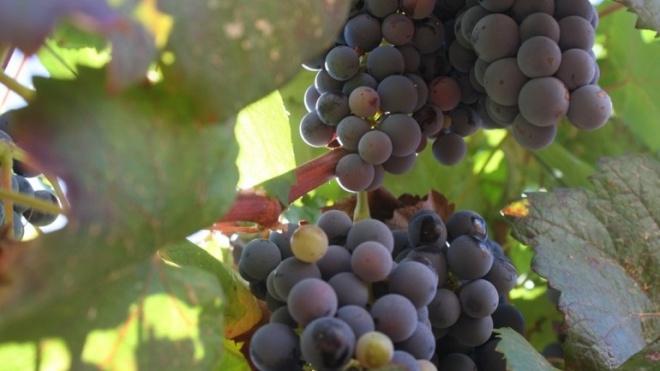 Trigaches tem pequenas adegas que ainda produzem vinho artesanal